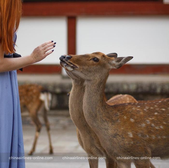 Đến công viên Nara bạn sẽ được chạm vào những chú nai dễ thương ở đây